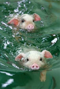 http://high-street.org/sidepic/swimmingpigs.jpg