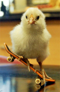 https://cruelery.com/sidepic/skateboardchicken.jpg